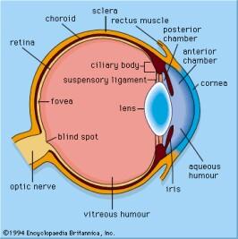 Squid Eye Diagram